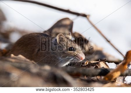 Wild Wood Mouse Sitting On The Forest Floor. Wild Wood Mouse Resting On The Root Of A Tree On The Fo