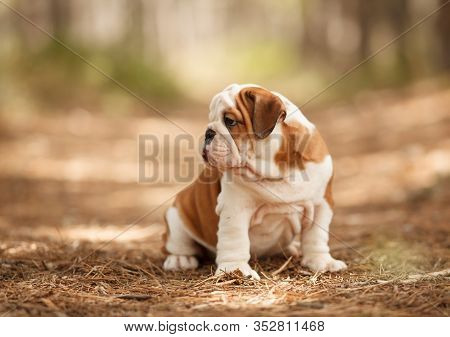 Cute English Bulldog Puppy On A Walk In The Park, Beautiful Portrait. Place For The Inscription. Con