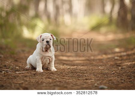 Funny White English Bulldog Puppy On A Walk In The Park. Place For The Inscription. Concept: Veterin