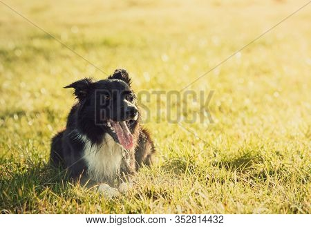 Portrait Of Joyful Border Collie Dog Laying Down On The Meadow, Funny Face Mouth Open Showing Long T