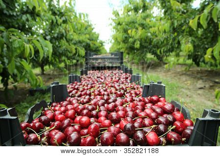 Picking Cherries In The Orchard . Boxes Of Freshly Picked Lapins Cherries. Industrial Cherry Orchard