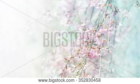 Spring shidarezakura (weeping cherry) cherry blossom, impressionist style . Shallow depth of field.