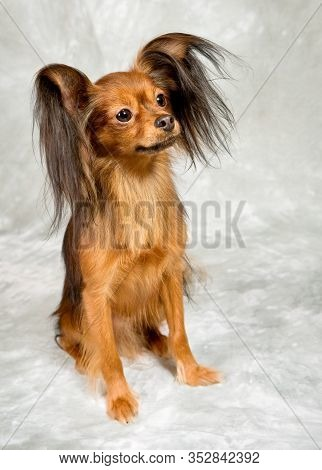 Russian Toy Terrier On Grey Background, Pet