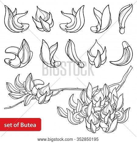 Vector Set Of Outline Tropical Butea Or Forest Flame Or Bastard Teak Tree Flower Bunch And Bud In Bl