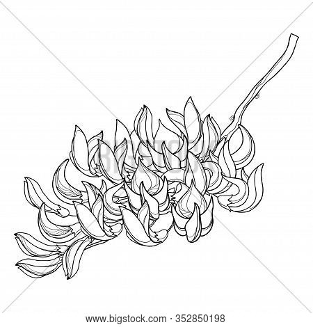 Vector Branch Of Outline Tropical Butea Or Forest Flame Or Bastard Teak Tree Flower Bunch And Bud In