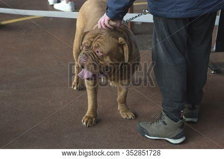 Dogue De Bordeaux, Bordeaux Mastiff, French Mastiff Or Bordeauxdog At A Dog Show With His Master