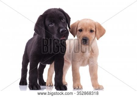 group of two labradors retrievers panting and sticking out tongue, standing isolated on white background