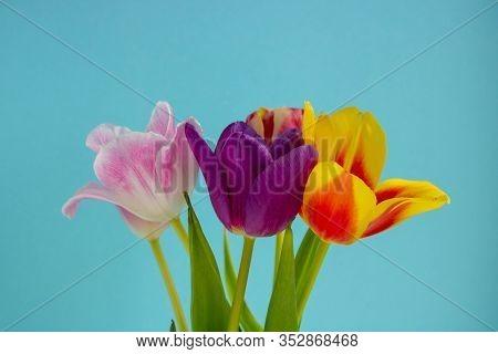 Bouquet Of Colored Tulips On A Blue Background. Spring Flowers. Colored Tulips, Lovely Tulip Flowers