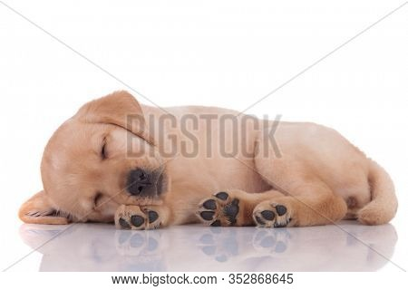 adorable baby labrador retriever laying down and sleeping on white background