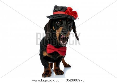 Bothered Teckel puppy wearing bowtie and hat, growling and panting while standing on white studio background