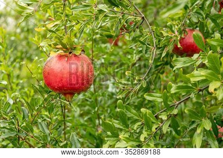 Pomegranates Hanging On Tree At Fall Time