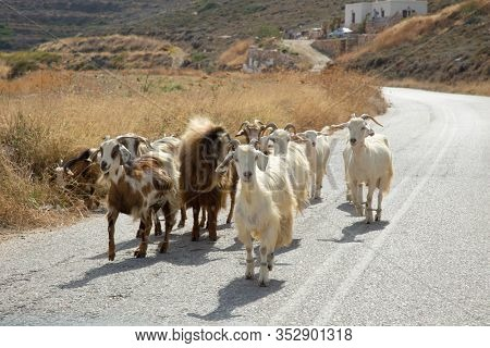 Herd of goats walking in the middle of the road at Sifnos in Greece