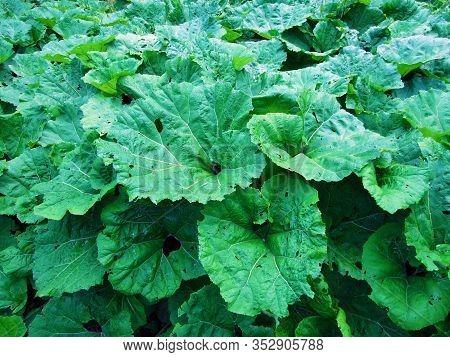 The Butterbur (petasites Hybridus), Die Gewöhnliche Pestwurz, Bach-pestwurz Oder Rote Pestwurz, Lopu