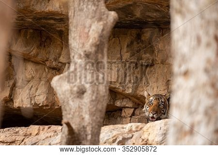 Man Eater Tiger Of Ranthambore In Den Or Cave. Blue Eye Male Tiger Or T104 Resting In Cave Or Tiger