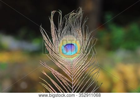 Detailed Peacock Feathers With Copy Space.closeup Of The Colorful Patterns Of A Peacock Feather.real