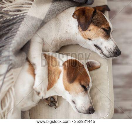Sleeping dogs at home. Pet sleep on sofa