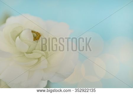 White Ranunculus Flower On A Light Blue Background With Bokeh. Delicate Flower Card. Spring Flowers.