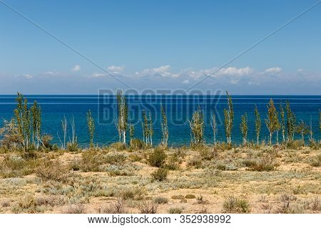 Lake Issyk-kul, Kyrgyzstan, The Largest Lake In Kyrgyzstan, Young Poplar Trees Ashore