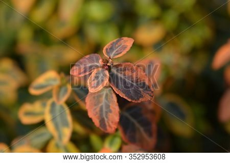 Wintercreeper Emerald And Gold - Latin Name - Euonymus Fortunei Emerald And Gold