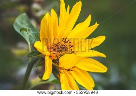 Sunflower In A Garden, Natural Close Up Photo With Soft Selective Focus. Helianthus
