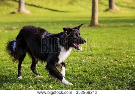 Border Collie Dog Obedience Training In City Park In A Sunny Day. Border Collie Playing On Green Gra