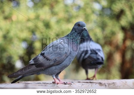 Pigeon On A Ground Or Pavement In A City. Pigeon Standing. Dove Or Pigeon On Blurry Background. Pige