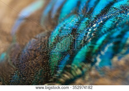 Close-up Of The  Peacock Feathers .macro Blue Feather, Feather, Bird, Animal. Macro Photograph.