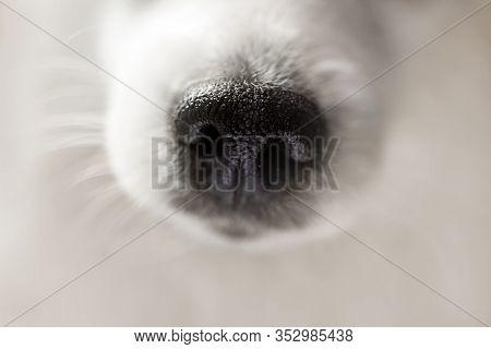 Dog Nose Extreme Close-up. Macro Shot Of Cute White Japanese Spitz Dog. Selective Focus On Nose Text