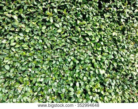 Closeup Garden Hedge Wall Foliage Topiary Wall