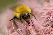 Closeup of Bumblebee Pollinating Joe Pye Weed - Ontario, Canada poster