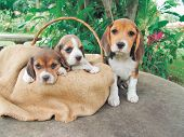three beagle puppies in a basket poster