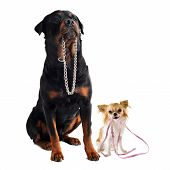 portrait of a cute purebred chihuahua and rottweiler who holding a leash and a collarin front of white background poster