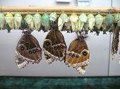 Owl butterflies or caligo beltrao with chrysalis poster