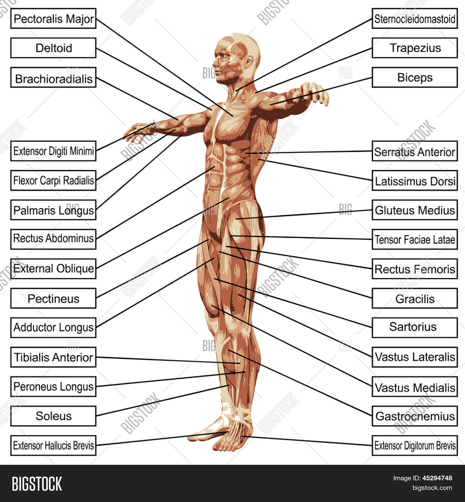 3D Male Human Anatomy Image & Photo (Free Trial) | Bigstock