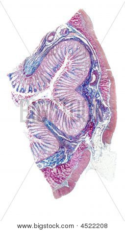Human Auerbach Plexus