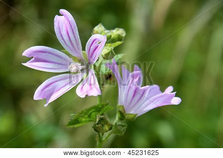 Lavatera Cretica, A Species Of Flowering Plant In The Mallow Family.
