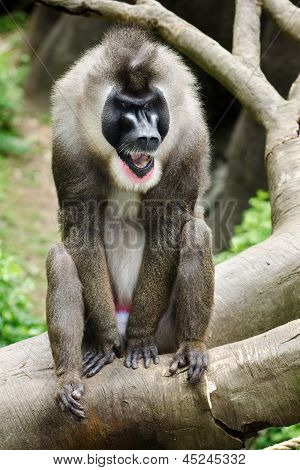 Portrait of male baboon