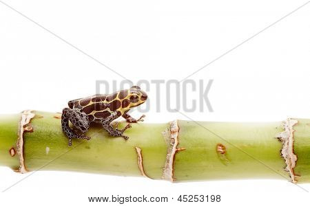poison dart frog isolated, Small amphibian and exotic pet from tropical Amazon rain forest in Peru.