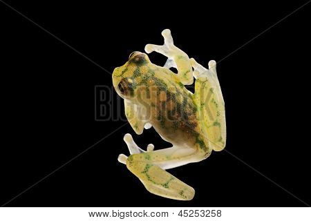 transparent glass frog, Hyalinobatrachium valeroi. Small tree frog from the Amazon rain forest. This tropical animal lives in the rainforest of Costa Rica, Panama, Colombia and Ecuador