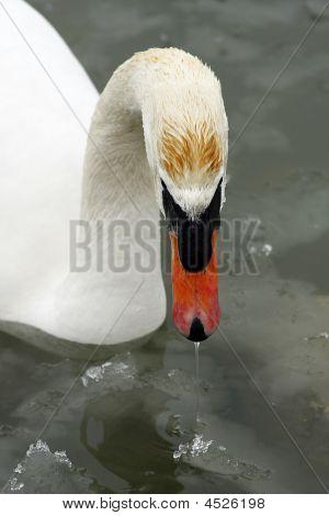 Single swan on the Lake Balaton on Jan 2009. poster