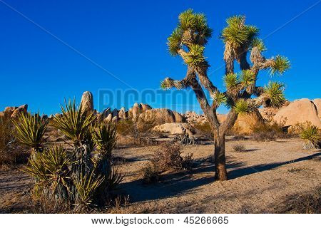 Joshua Tree in Joshua Tree National Park, California, USA