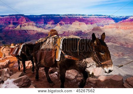 Mules Climbing up with Goods in Grand Canyon National Park in Arizona, USA
