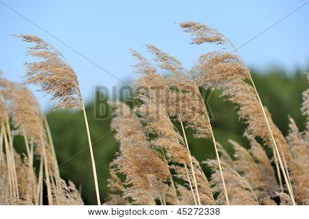 Common Reed (Phragmites)