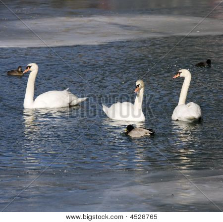 White Swans And Ducks On A Cold Lake
