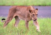 Hunting lion in national park of South Africa poster