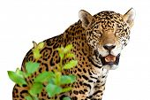 Wild jaguar isolated over white poster