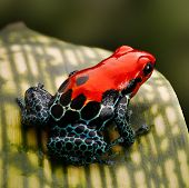 red poison dart frog. Tropical amphibian from Peru rain forest, a red morph of Ranitomeya amazonica (Arena Blanca) These animal are often kept as exotic pet in a terrarium. poster