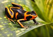 Red striped poison dart frog. A poisonous but beautiful small animal from the Amazon rain forest of Peru. Cute amphibian often kept as a tropical and exotic pet in a terrarium. Ranitomeya imitator poster