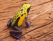 Yellow poison dart frog, Dendrobates tinctorius Citronella. Beautiful small amphibian from tropical rain forest in Suriname. These animals live Amazon jungle and are often kept in a jungle terrarium. poster