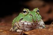 Pacman frog or toad, South American horned frogs Ceratophrys ornata (Argentine horned frog) Tropical rain forest animal in Amazon rainforest of Brazil Argentina and paraguay kept as exotic pet animal poster
